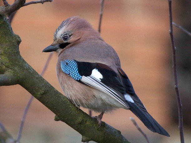Sojka fågel