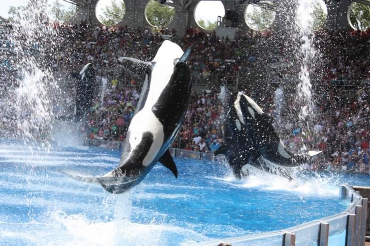 Shamu på SeaWorld