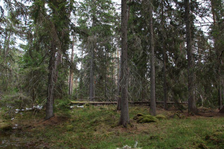 Man kunne nesten trodd at det finnes bare en boreal barskog. Skogshabitat Skogsdatabloggen