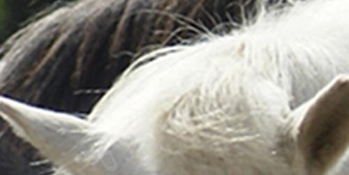 Deprimerede heste