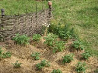 Картошка без прополки, опрыскивания и удобрений