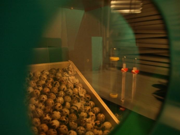 Разведение перепелов - автоматизированный инкубатор для яиц