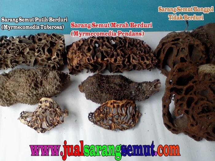 Jual Sarang Semut Kalimantan