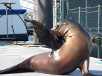 Eric - California sea lion at MSC