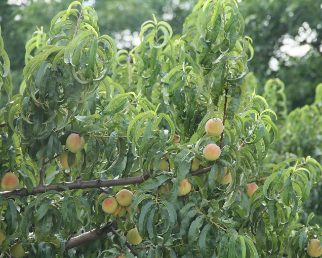 picture of a Georgia Peach Tree