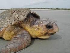 Mama Sea Turtles
