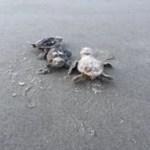 Hilton Head Sea Turtles