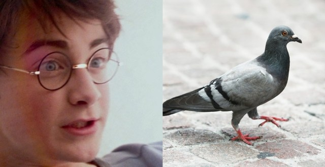 harry-potter-pigeon