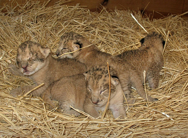 These four lion cubs were born at the Virginia Zoo in Norfolk on Saturday, May 2, as the second litter for the zoo's lioness, Zola. (The Virginia Zoo)