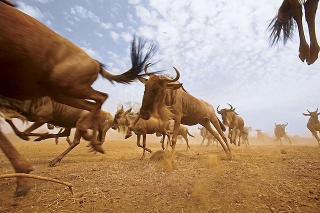 Grandes migrações de animais 01
