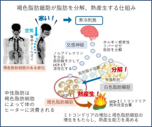 褐色脂肪細胞が脂肪を燃やすメカニズム