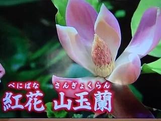 紅花 山玉蘭 14年ぶりに開花 - 気まぐれ寫真