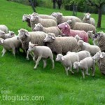 In Defense of Gay Sheep