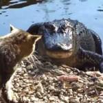 Cat vs. Alligator
