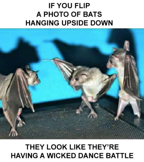 If you flip a photo of bats hanging upside down... they look like they're having a wicked dance battle.