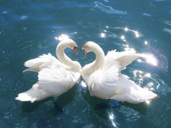 Among the swan's many symbols are fidelity, love, companionship and loyalty. Photo: Wikimedia