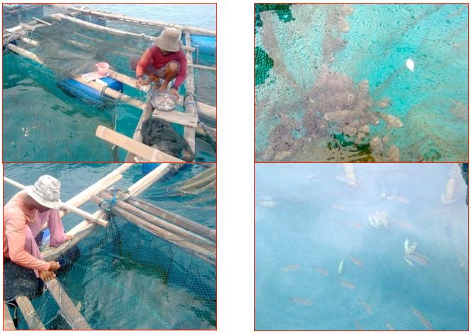 Kegiatan Anggota Kelompok Sea Farming