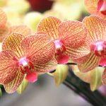 A te orchideád sem virágzik? Erre lehet szüksége ahhoz, hogy virágozzon!