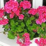 Egyetlen csepp jódtól a muskátli folyamatosan virágokkal örvendeztet meg!
