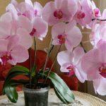 5 trükk, amit tudnod kell, ha azt szeretnéd, hogy sokszor virágozzon az orchideád!