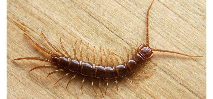 Nézd! Ez a rovar bújik meg a fürdőszobádban: viszont ha eltaposod, akkor nagyon rosszul jársz