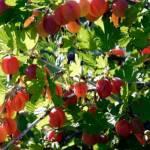 Az immunrendszer, a szívbetegségek és a vércukorszint számára igazi csodaszer, mégsem fogyasztjuk rendszeresen! Ki tudja mi ez a gyümölcs?