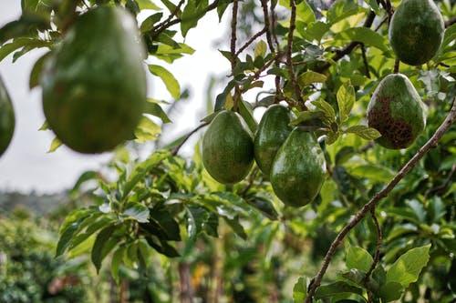 Le numerose  proprietà di Avocado