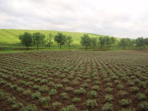 Хоккайдо Лавандовое поле
