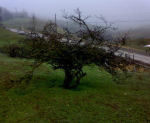 درخت آلوچه وحشی