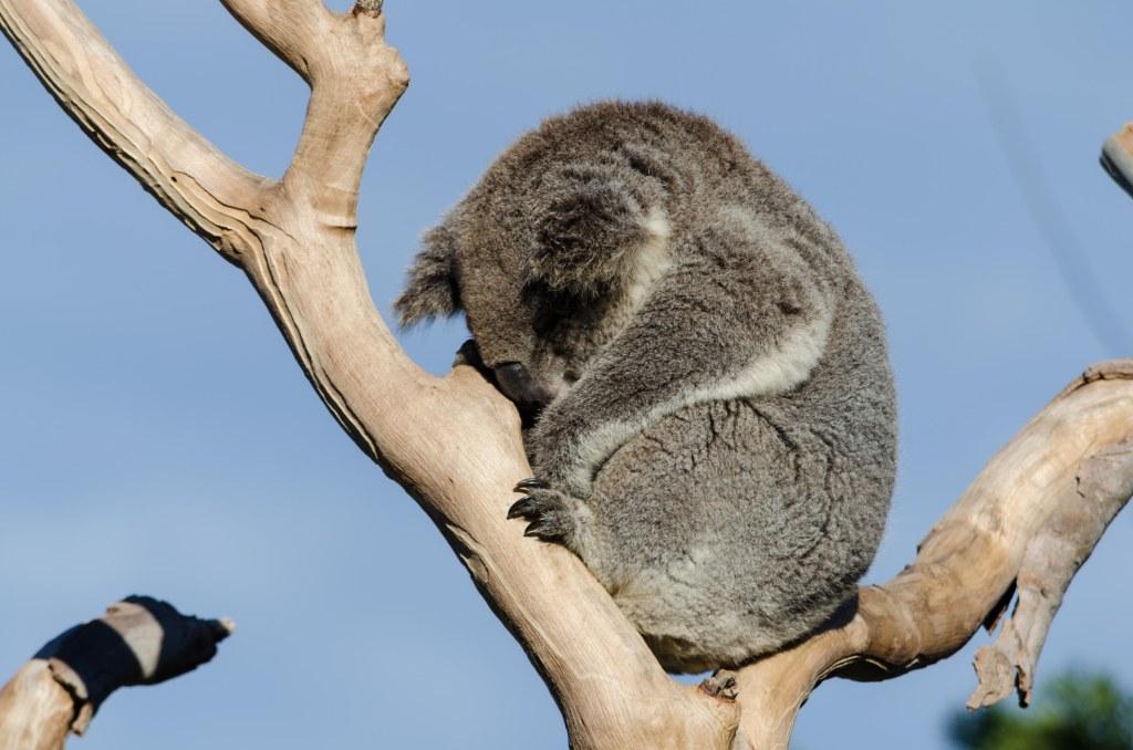 koala, Symbio