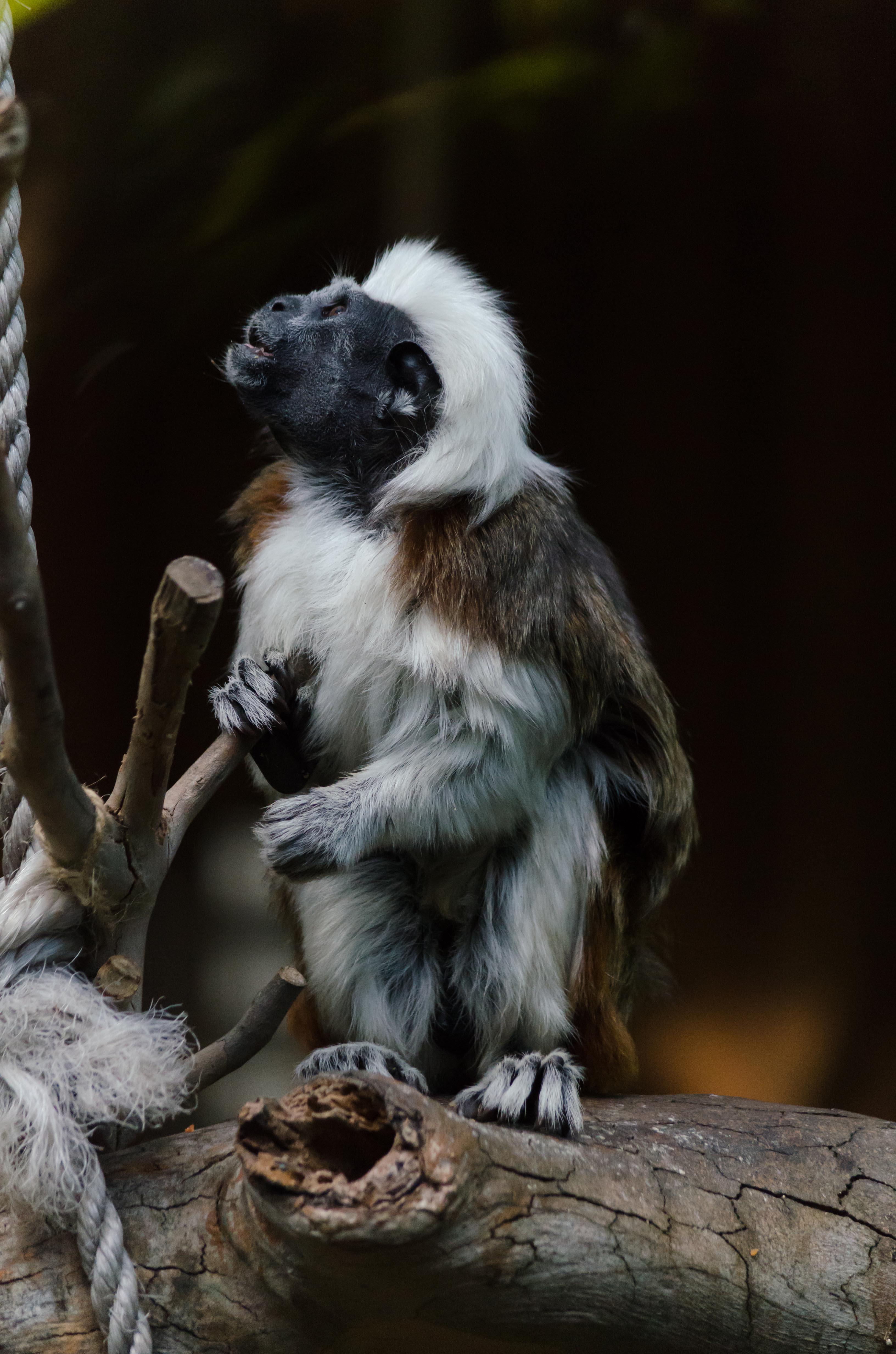 cotton top monkey Symbio Zoo