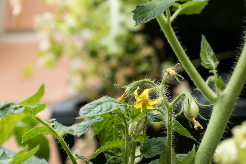 Tomato plant backyard