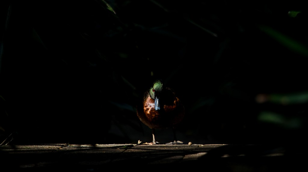 Duck in the Shadows