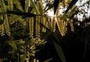 Backlit Wattle Winter walk