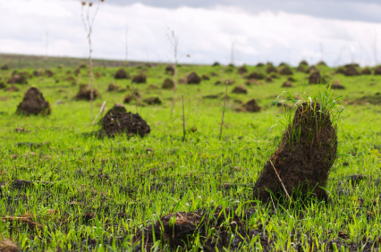 Ant_Mounds_In_Grass_Field