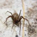 Hobo Spider Close Up