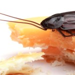 Roach On Cracker