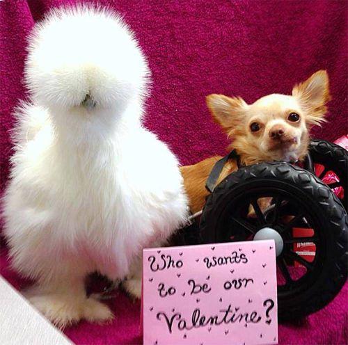 殘障吉娃娃與烏骨雞