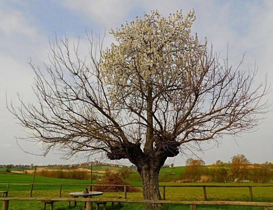 義大利雙生樹