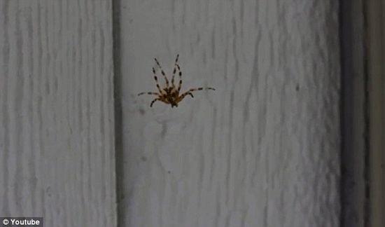 被嚇得驚惶失措的蜘蛛