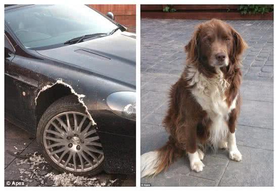 寵物犬咬壞主人價值8萬英鎊名車