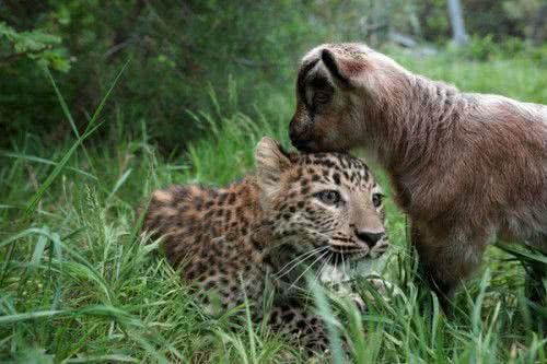 獵豹與山羊成好友
