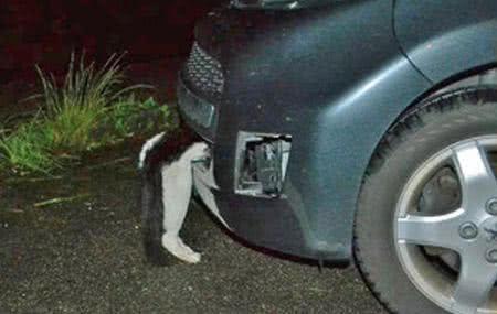 貓咪的頭卡在車頭下方凹槽內