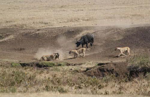 非洲水牛勇戰三獅