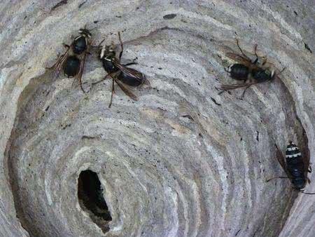 這就是俗稱小黑蚊的蠓,英文叫做 midge。
