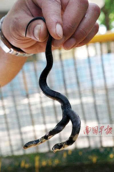 罕見的雙頭蛇