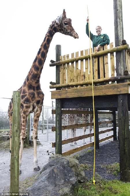 英國長頸鹿祖魯高達 5.8 公尺