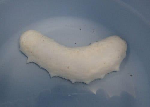 稀有的白海參