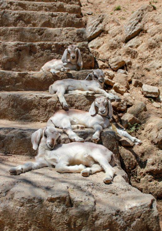 Nagarkot villages, Nepal, goats