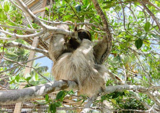 Isla Roatan Honduras, Daniel Johnson's monkey and sloth hang out
